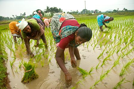 Paddy sowing rises 4.6%, pulsesareaup 3.3% inkharifseason