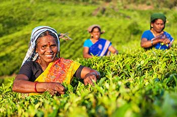 Tamil pickers collecting tea leaves on plantation